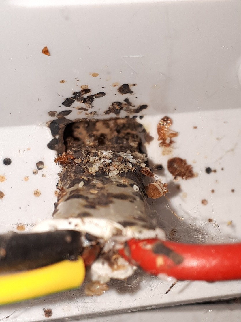 Bed bugs in socket