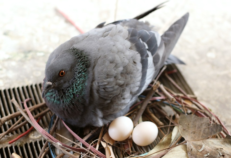 Pigeon with two eggs