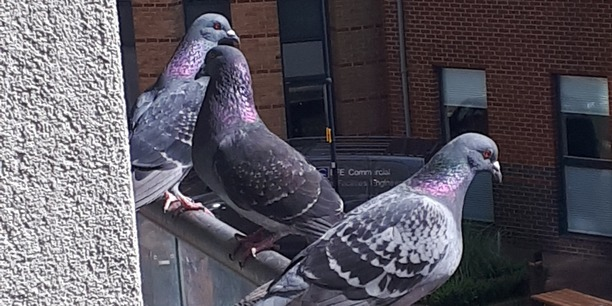 Pigeons on a balcony
