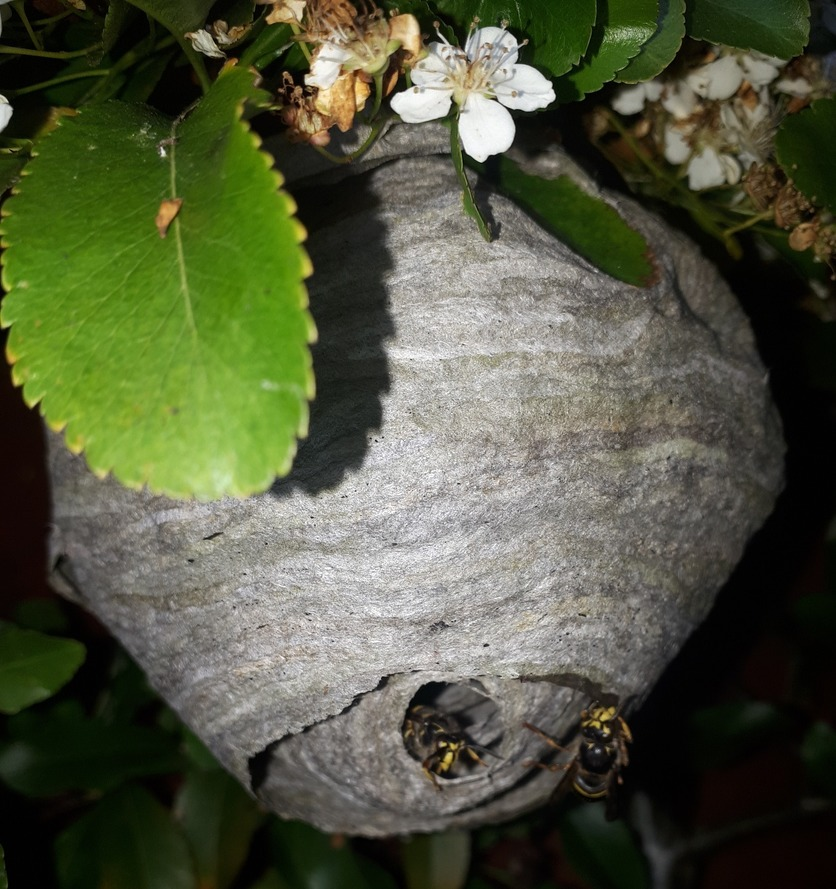 Wasps emerging from a nest