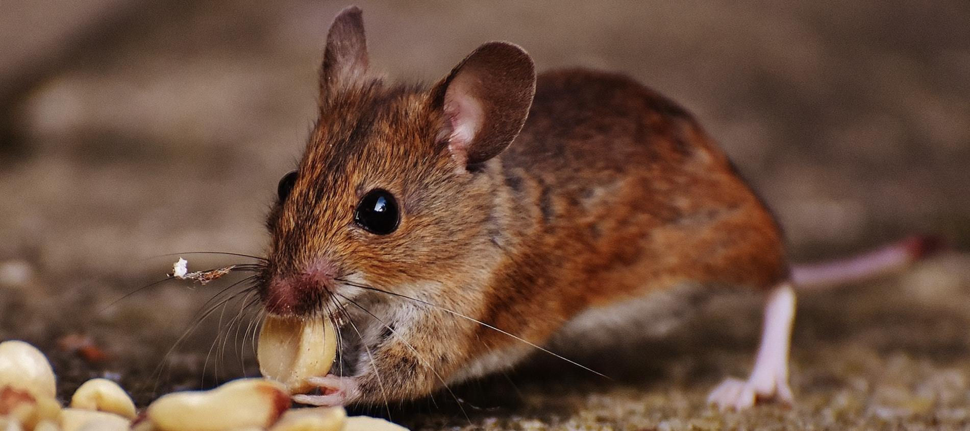 Mouse eating seeds