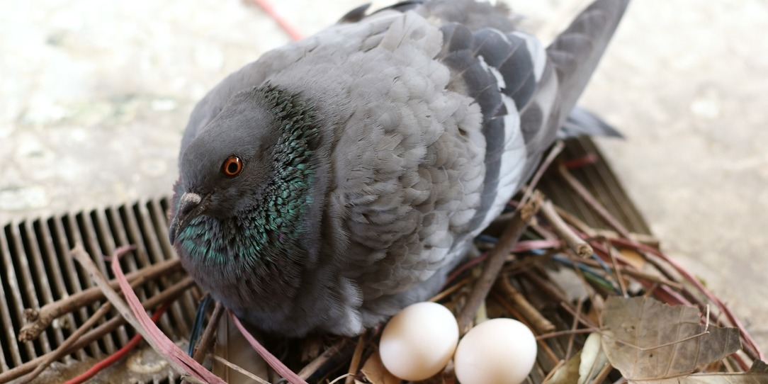 Pigeon on a nest
