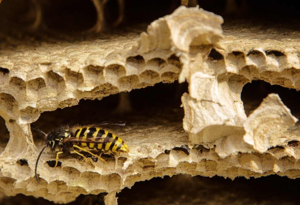 Inside a wasp nest