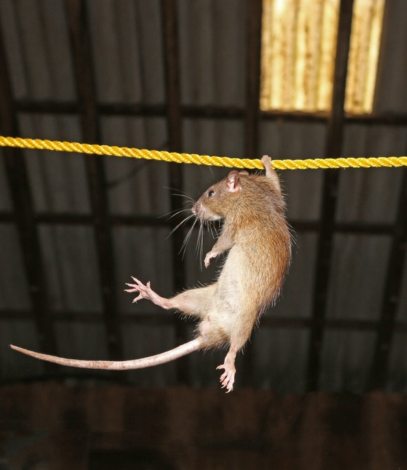 rat on a rope